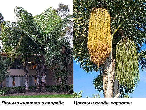 Пальма кариота в природе и пальма с цветами и завязями плодов