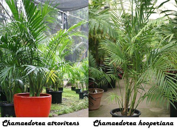 Chamaedorea atrovirens и Chamaedorea hooperiana