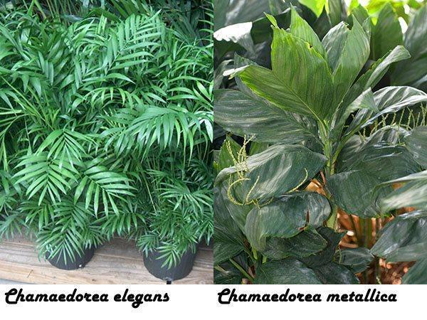 Chamaedorea elegans и Chamaedorea metallica