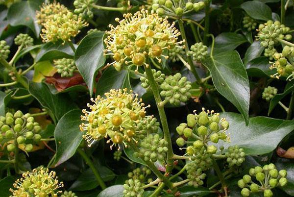 Цветет садовый плющ