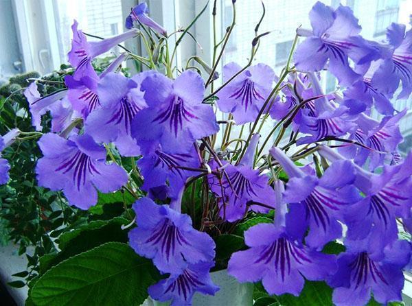 Цветет стрептокарпус на подоконнике