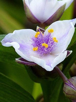 Цветет традесканция летом