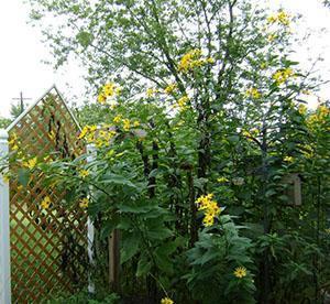 Цветы топинамбура украсят приусадебный участок