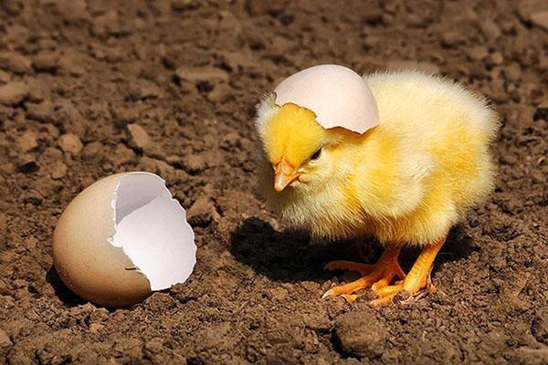 Инкубация куриных яиц. Температурные режим и особенности