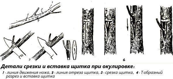 Детали срезки и вставка щитка при окулировке