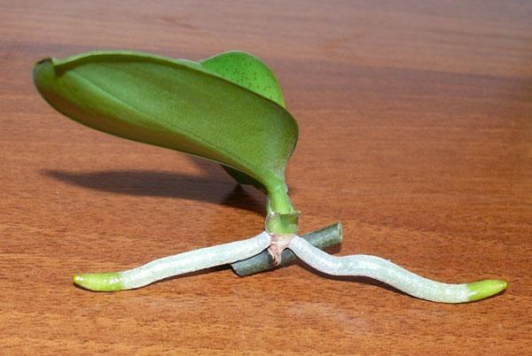 Для размножения используют зачаток, образовавшийся на цветоносе