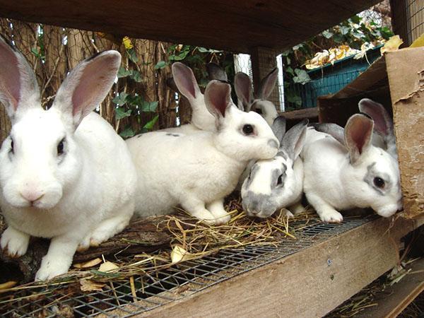 Для успешного разведения кроликов животных держат отдельно возрастными группами