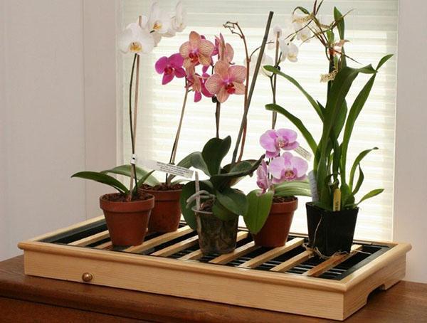 Для успешного развития и цветения орхидее фаленопсис нужны особые условия