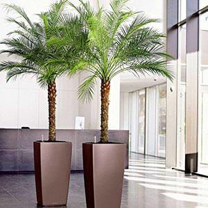 Финиковая пальма в интерьере общественного здания