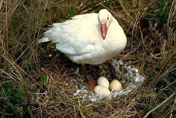 Гусыня мостит гнездо для выведения потомства