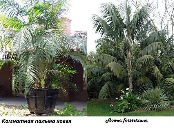 Комнатная пальма ховея и Howea forsteriana