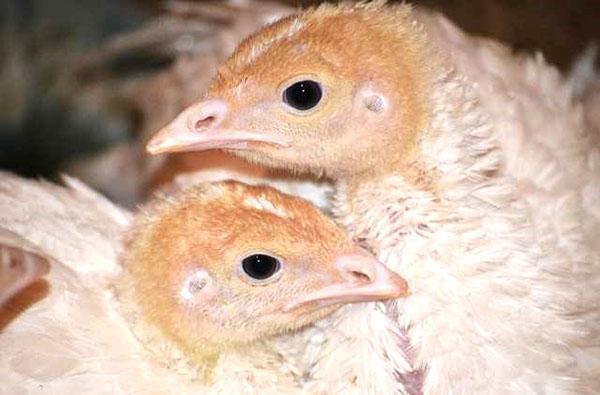 Индюшата чаще подвергаются разным болезням, чем взрослые птицы