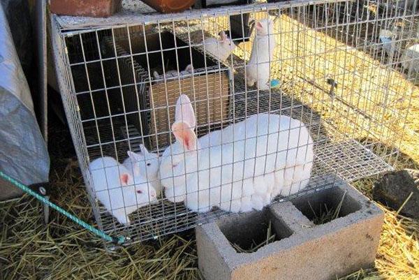 Крольчиха с потомством в вольере