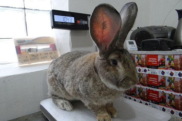 Кролик фландр или Бельгийский великан