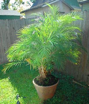 Летом пальму можно вынести на улицу