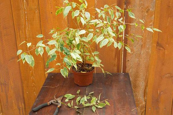 Листья фикуса опадают при нарушении правил полива