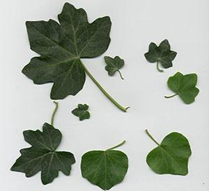 Листья плюща разных видов