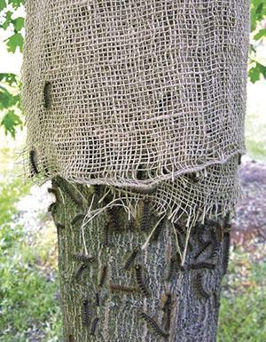Ловчий пояс из мешковины препятствует перемещению насекомых