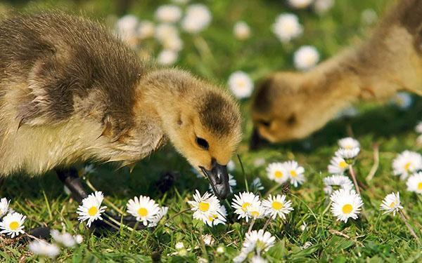 Малыши щиплют траву