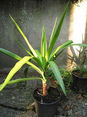 Молодое растение из верхушечного черенка