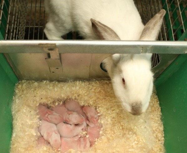 Новорожденные крольчата
