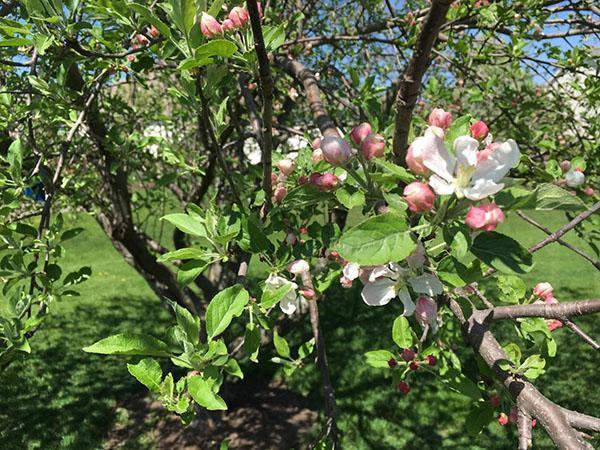 Обильное цветение дерева