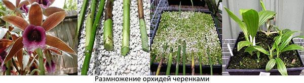 Обрезанные цветоносы можно использовать для размножения
