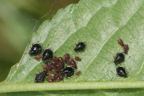 Ограничив передвижение муравьев, можно значительно уменьшить количество тли