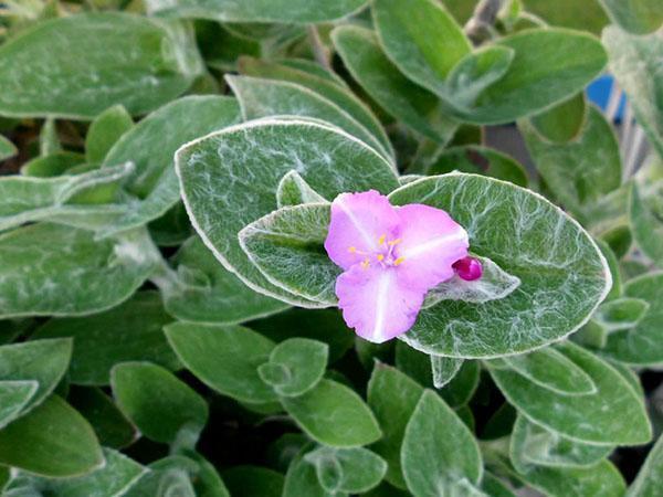 Опушенная листва традесканции