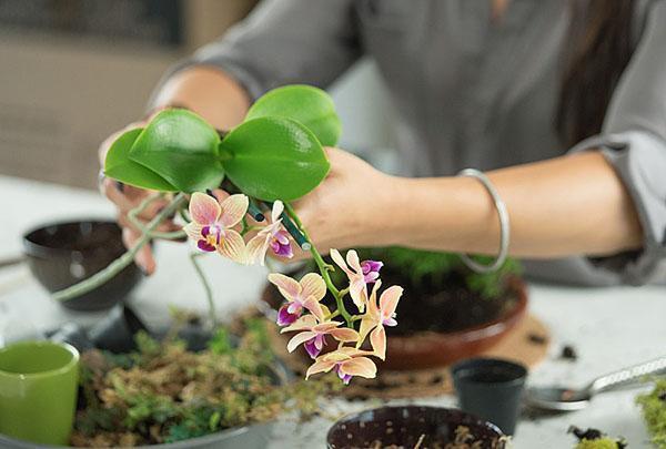 Орхидею пересаживают в приобретенный в магазине субстрат