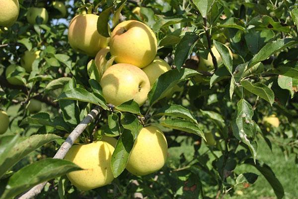 Основную часть сада занимают яблони