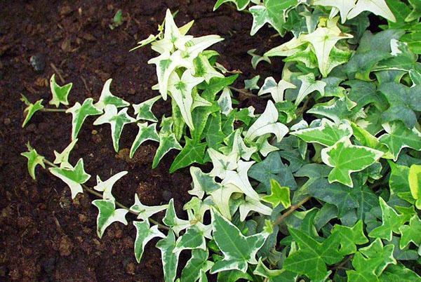 Плющ с красивой декоративной листвой