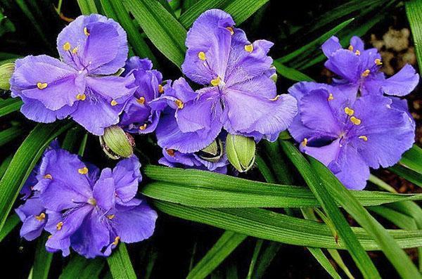 Полумахровые цветы традесканции