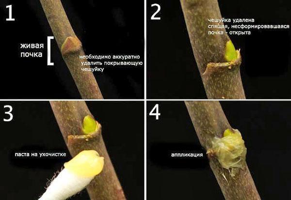 Порядок применения цитокининовой пасты