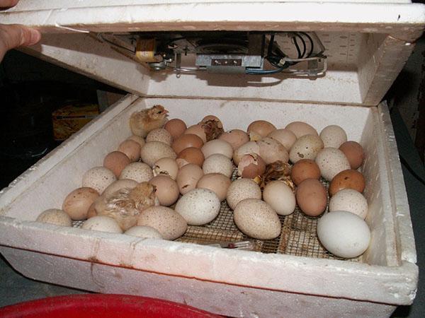 Последний этап инкубации - вывод птенцов