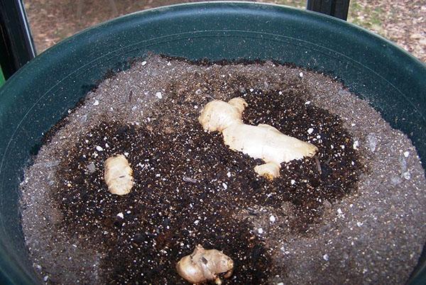 Правильная посадка корня имбиря