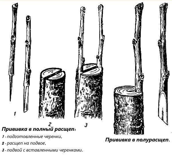 Прививка в полный и полурасчеп