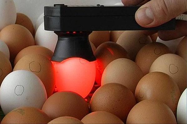 Проверка яиц на оплодотворение