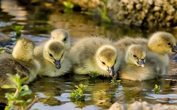 Птенцы купаются
