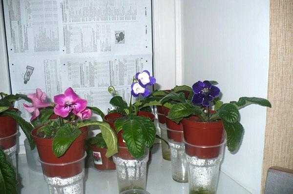 Растение предпочитает полив через дренажное отверстие