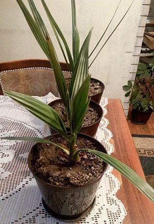 Растет финиковая пальма в домашних условиях