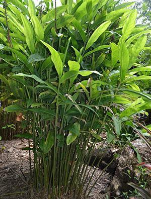 Растет имбирь в условиях тропиков