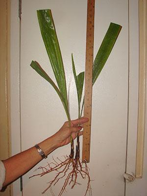 Размер саженцев пальмы финиковой