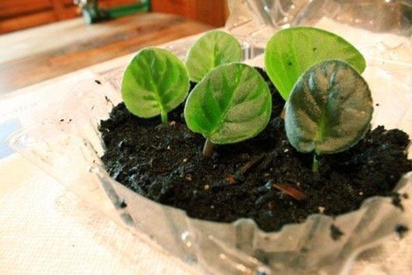 Размножение сенполии листовыми пластинами