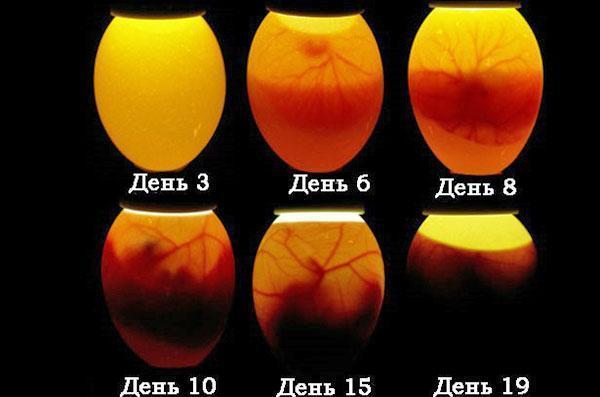 Развитие эмбриона куриного яйца