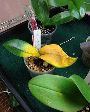 Реакция растения на избыток удобрения и чрезмерную влагу