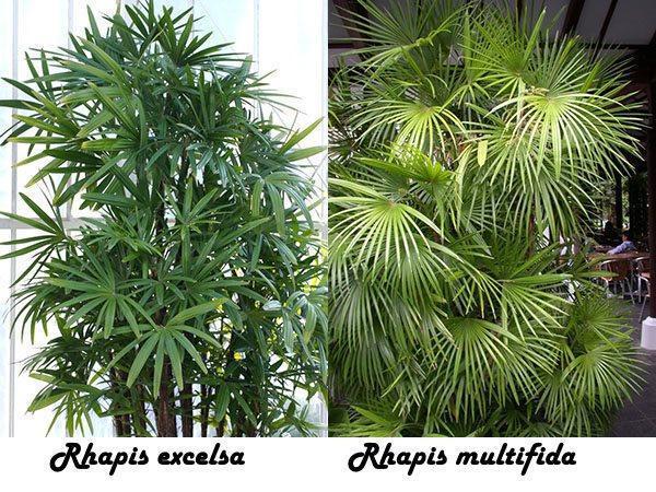 Rhapis excelsa и Rhapis multifida