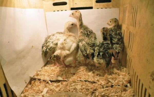Слабых птенцов необходимо отселять на время в другой отсек