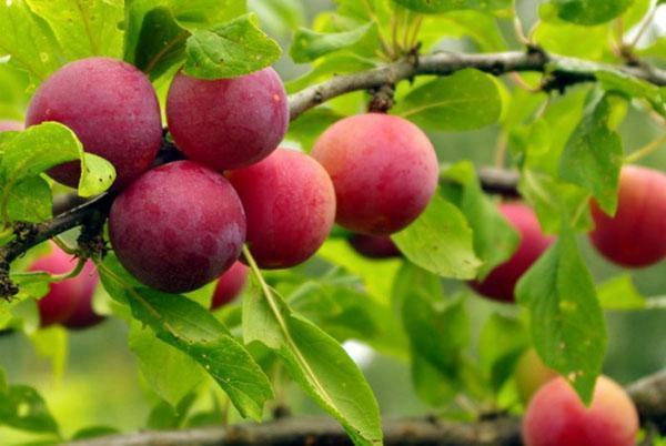 Сочная вкусная алыча выращивается для варенья и компотов