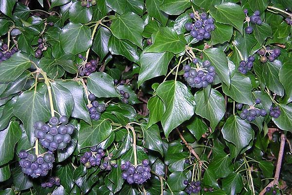 Созрели ягоды плюща садового